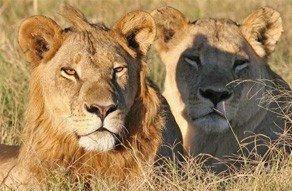botswana safari maned lionesses, africa safaris