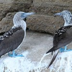 Blue Footed Boobies - Galapagos Islands Cruise