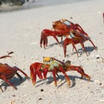 Sally Lightfoot Crabs - Galapagos Islands