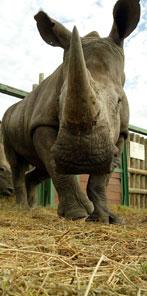 Botswana_mombo_rhino
