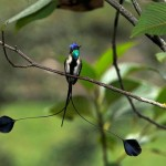 Peruvian Wildlife: Marvellous Spatuletail