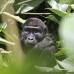 Gorilla trekking trips with Boundless Journeys