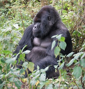 Bwindi Mountain Gorillas have been gradually habituated to accept travelers in their midst.