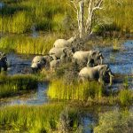 Elephants in the Okavango Delta in Botswana