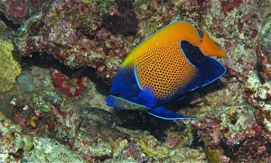 By Bernard DUPONT from FRANCE (Blue-girdled Angelfish (Pomacanthus navarchus)) [CC BY-SA 2.0 (https://creativecommons.org/licenses/by-sa/2.0)], via Wikimedia Commons