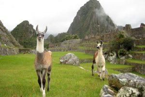 Peru Machu Picchu llamas