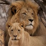 See Lions and other wildlife on a custom South Africa Safari