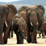 See African Elephants in the Mala Mala Game Reserve in Kruger National Park